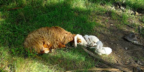 lamb-babys-al-hamra
